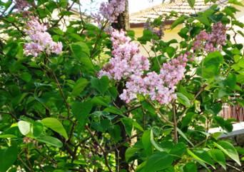 Syringa vulgaris il blog di nella seminara - Serenelle fiori ...