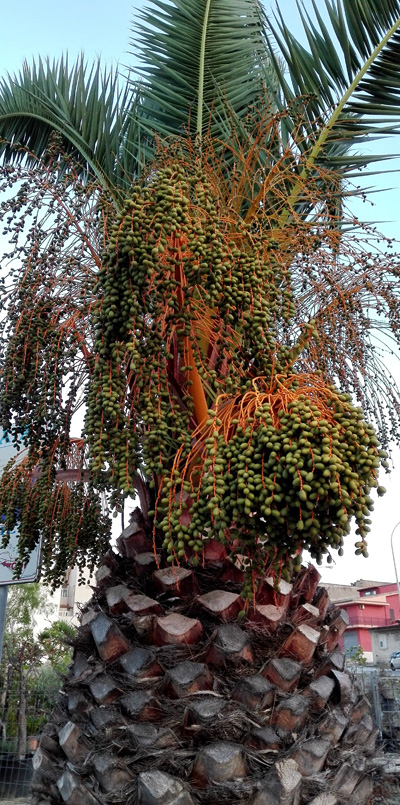 Le palme e il punteruolo rosso il blog di nella seminara for Palma pianta