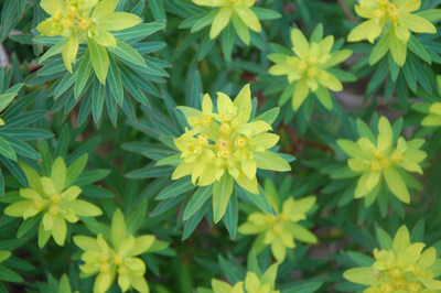 4 Euphorbia bivonae OK